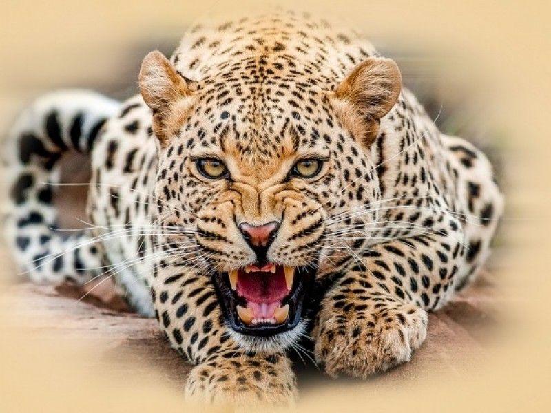 Bali Safari Park   Leopard Package